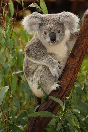 Cute koala on tree branch portrait 182487625