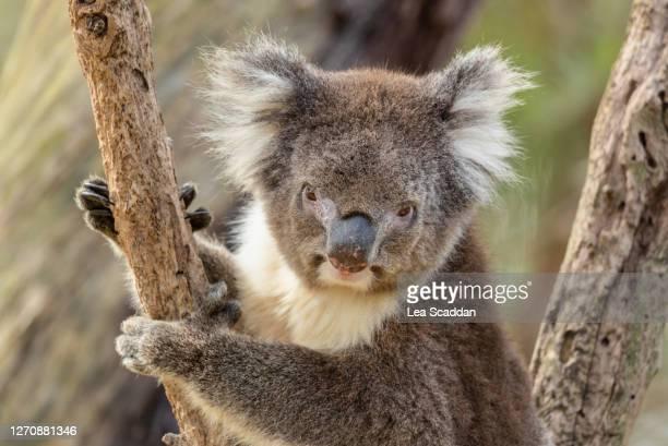 cute koala - erbivoro foto e immagini stock
