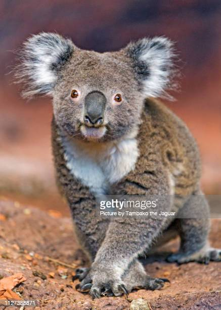 cute koala posing - koala photos et images de collection