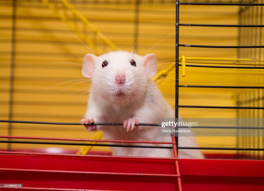 Cute laboratory rat of the dumbo breed : Stock Photo