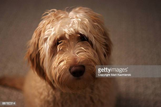 cute labradoodle - labradoodle stock photos and pictures