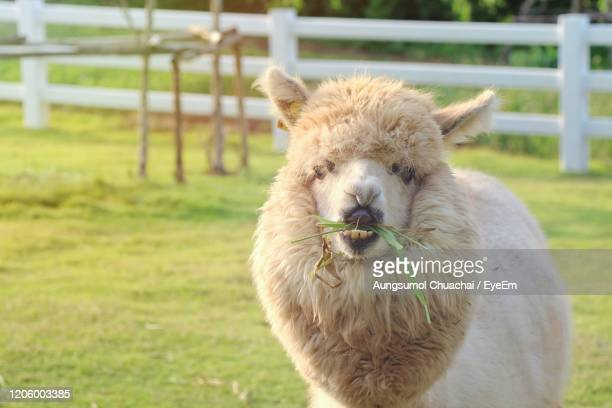 a cute light brown alpaca is eating grass in the farm with relax and enjoy. animal concept. - aungsumol stock pictures, royalty-free photos & images