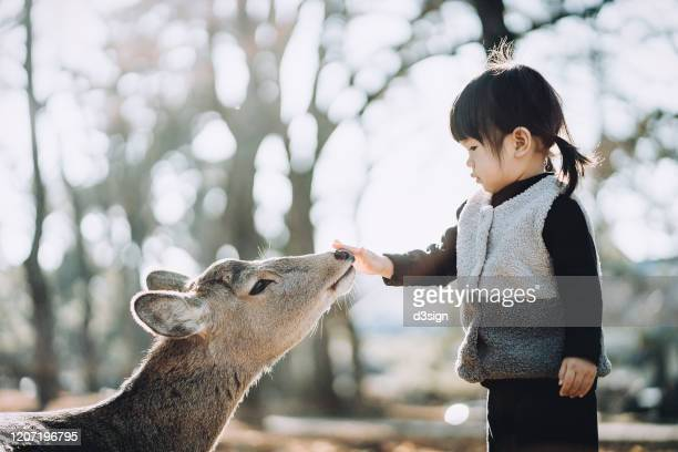 cute little asian toddler girl touching a wild deer gently in the nara park, japan against the warmth of sunbeam - 動物の世界 ストックフォトと画像