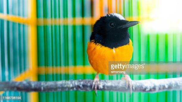cute little bird inside birdcage - zangvogel stockfoto's en -beelden