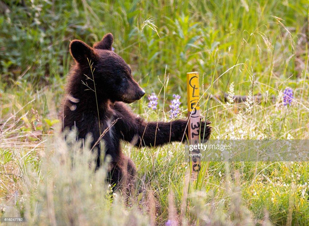 Cute little black bear cub in Yellowstone National Park : Stock Photo