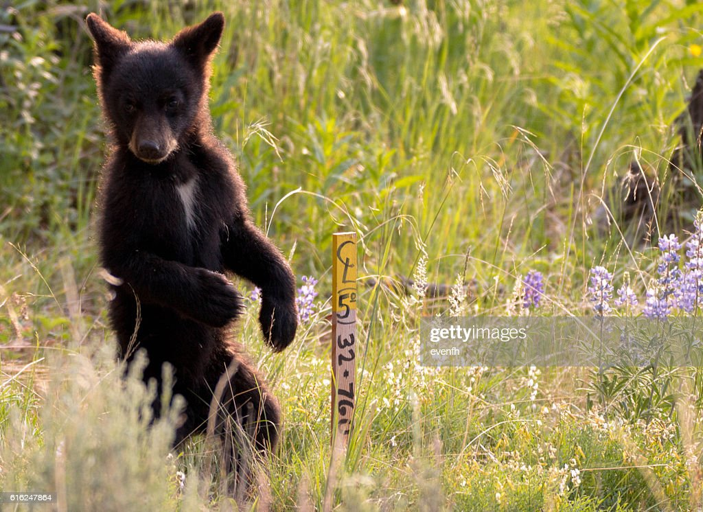 Cute little black bear cub in Yellowstone National Park : Stock Photo