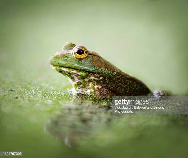 cute little bullfrog in green mucky water at elizabeth morton preserve, long island - bullfrog stock pictures, royalty-free photos & images