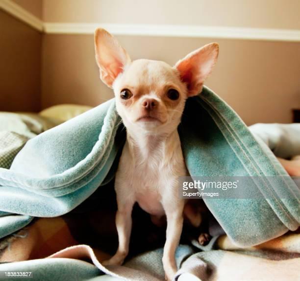 Carino piccolo Chihuahua è a telecamera da sotto coperte