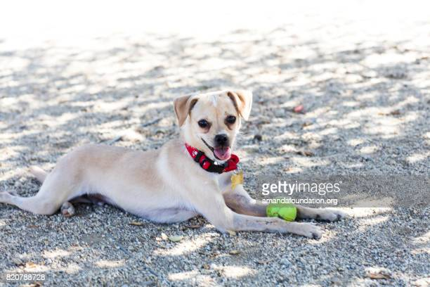 Cute Little Chihuahua Mix with a Tennis Ball - The Amanda Collection