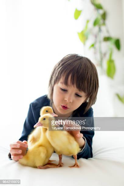 cute little child, boy with duckling springtime, playing together, little friend, childhood happiness - domestic life imagens e fotografias de stock