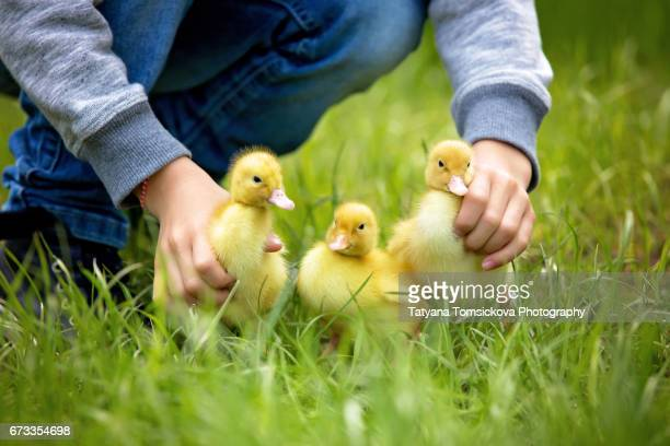 Cute little child, boy with ducklings springtime, playing together, little friend, childhood happiness
