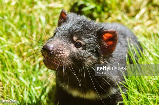 cute little devil - marsupial imagens e fotografias de stock