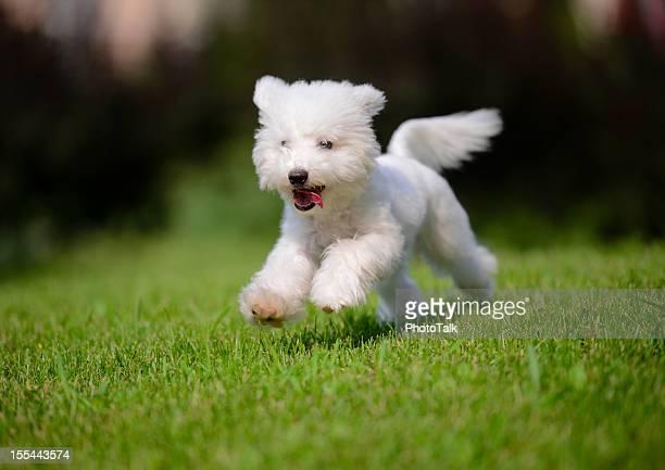 Mignon petit chien course rapide sur la pelouse XXXXXLarge