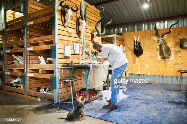 cute little dog watching his owner working in a taxidermy workshop - palanca negra imagens e fotografias de stock