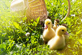 cute little ducklings in a wicker basket on a Sunny day.