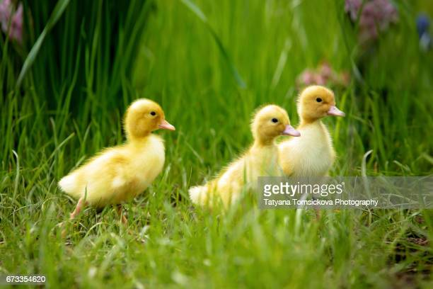 cute little ducklings springtime, playing together outdoors, running in the grass, little friend - duckling stock pictures, royalty-free photos & images