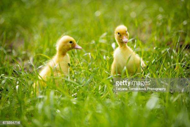 Cute little ducklings springtime, playing together outdoors, running in the grass, little friend