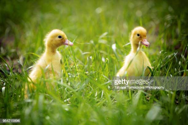 cute little ducklings springtime, playing together outdoors, running in the grass, little friend - domestic life imagens e fotografias de stock