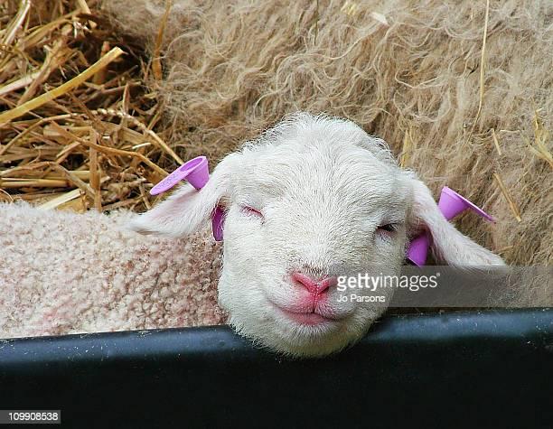 cute little easter lamb, asleep - イギリス バークシャー ストックフォトと画像