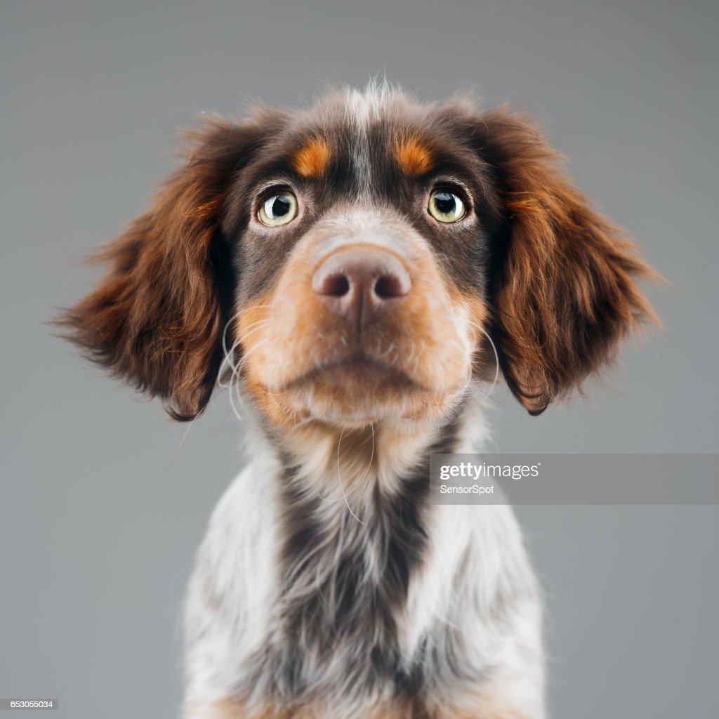 Cute little Epagneul Breton dog portrait : Stock Photo