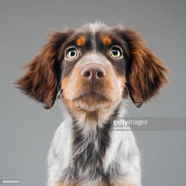 cute little epagneul breton dog portrait - spaniel stock photos and pictures