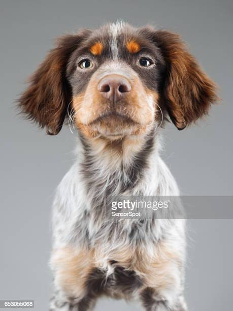 cute little epagneul breton dog portrait - brittany spaniel stock pictures, royalty-free photos & images