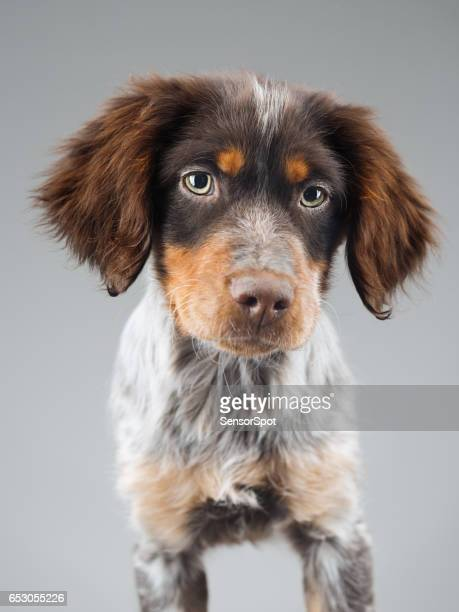 Cute little Epagneul Breton dog portrait
