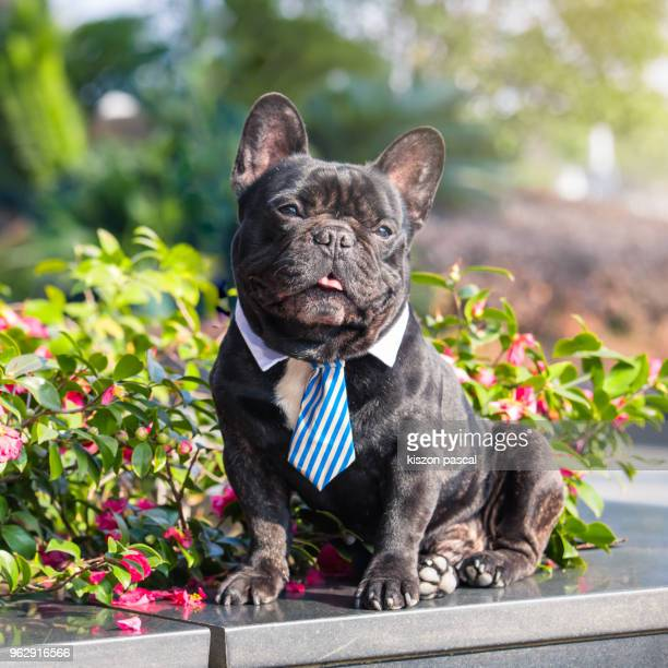 cute little french bulldog with a funny face and expression sitting in the sun in the street in day - bulldog frances imagens e fotografias de stock