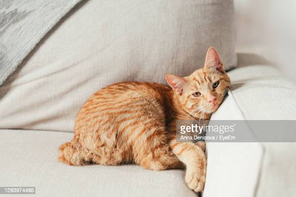 cute little ginger kitten lays on the sofa in funny pose - domestic cat stock pictures, royalty-free photos & images