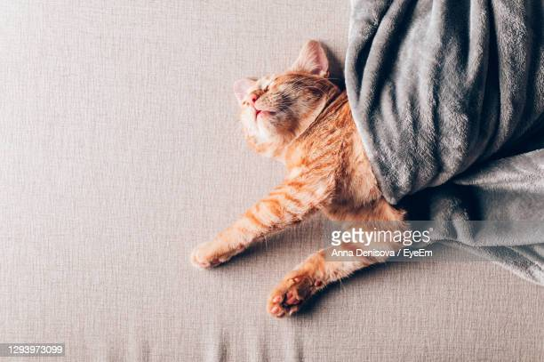 cute little ginger kitten sleeps on the sofa under grey soft blanket - blanket stock pictures, royalty-free photos & images