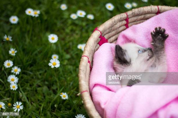 cute little kitten in a basket - black siamese cat stock pictures, royalty-free photos & images
