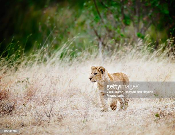 Cute little Lion Cub with Big Paws in Tanzania
