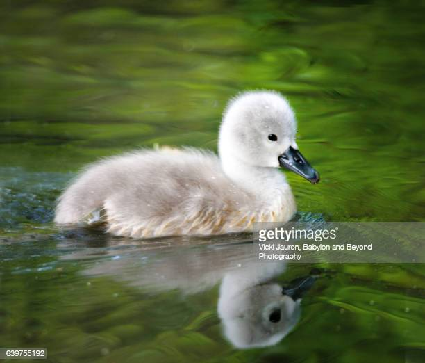 Cute Little Mute Swan Cygnet and Reflection