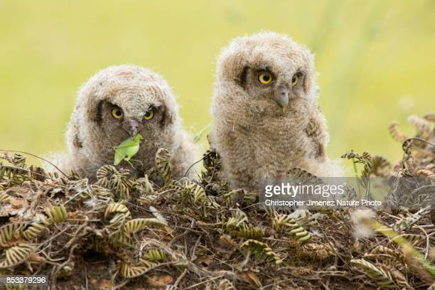 cute little owls during the day eating a cricket - christopher jimenez nature photo stock pictures, royalty-free photos & images