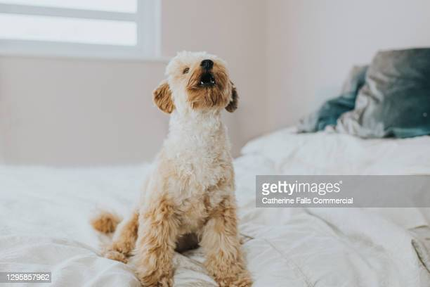 cute little poodle barks on a bed - owner stock pictures, royalty-free photos & images
