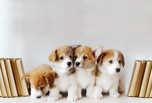 Cute little puppies on shelf with books on light background 1133605325