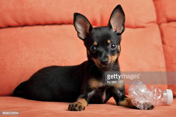 cute little puppy playing with a water bottle - pinscher nano foto e immagini stock