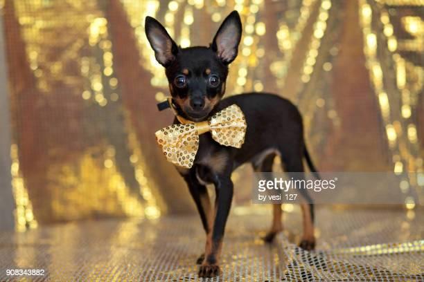 cute little puppy wearing a bow tie - pinscher nano foto e immagini stock