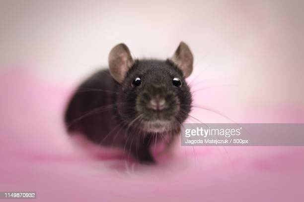 cute little rat - animal whisker stock pictures, royalty-free photos & images