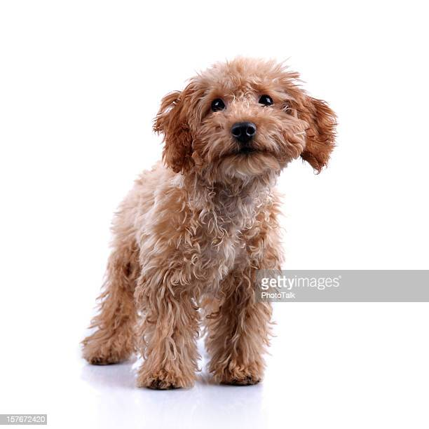 Cute Little Teddy Bear Puppy Studio Shot – XXLarge