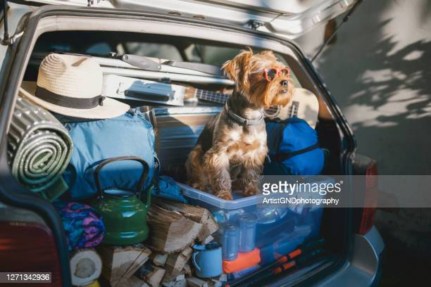 cute little terrier dog wearing sunglasses in a full car trunk ready for a vacation - vacations stock pictures, royalty-free photos & images