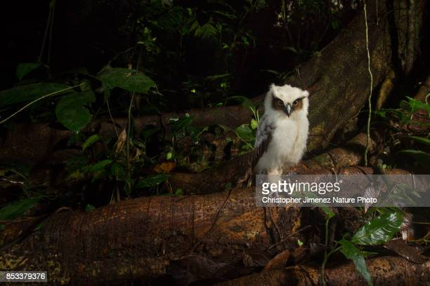 Cute little white owl perched on a branch during the night in the rainforest