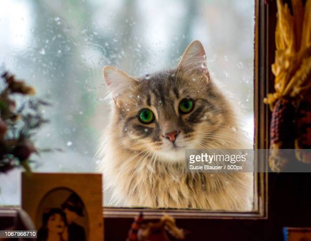 cute longhair cat looking through window - domestic animals stock pictures, royalty-free photos & images