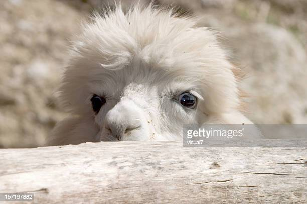 Cute looking alpaca