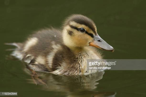 a cute mallard duckling (anas platyrhynchos) swimming in a river hunting for food. - duckling stock pictures, royalty-free photos & images