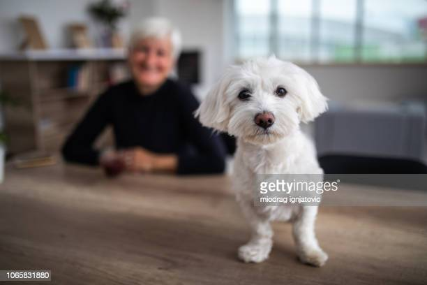 cute maltese dog looking at camera - maltese dog stock pictures, royalty-free photos & images