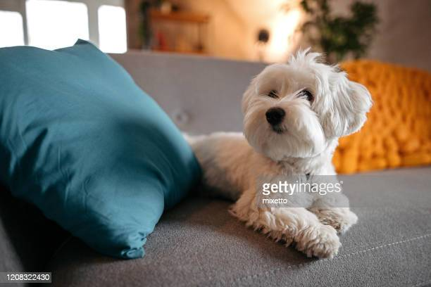 cute maltese dog relaxing on sofa at modern living room - dogs stock pictures, royalty-free photos & images