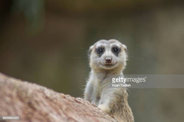 cute meerkat - mongoose stock photos and pictures