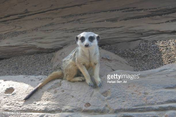 cute meerkat sitting on a rock - rafael ben ari stock pictures, royalty-free photos & images