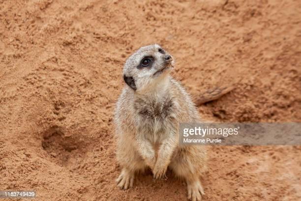 cute meerkats - mangusta foto e immagini stock